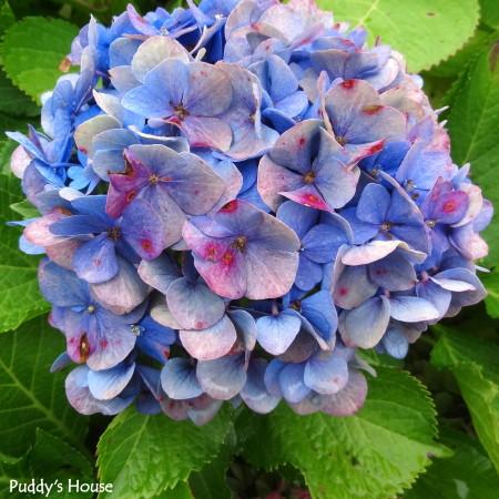 Nature - blue hydrangea