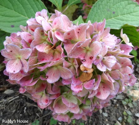 Nature - pink hydrangea