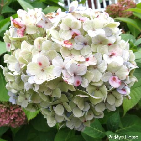 Nature - white hydrangea