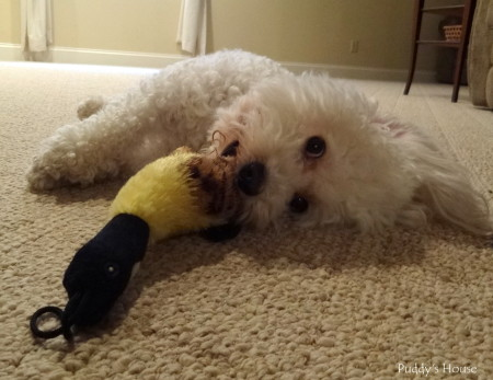 Dog supply organization - Puddy playing with toy