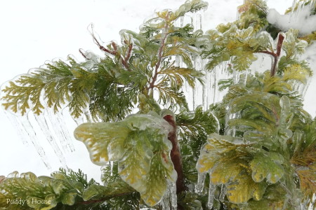 winter landscape -icy golden cypress