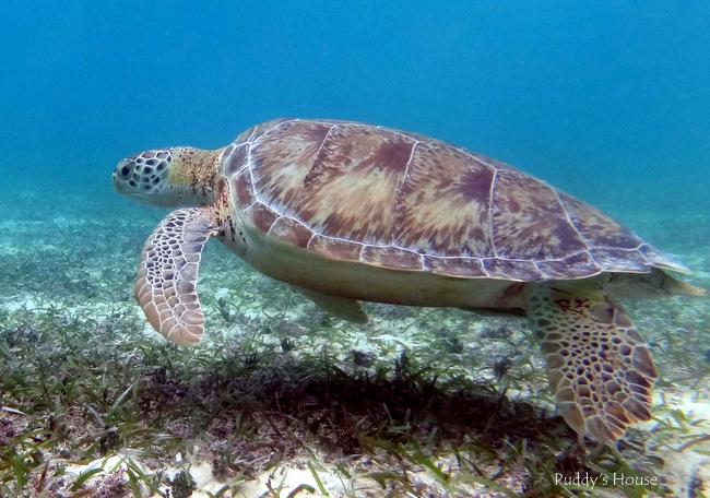 Mexico - Akumal turtle2