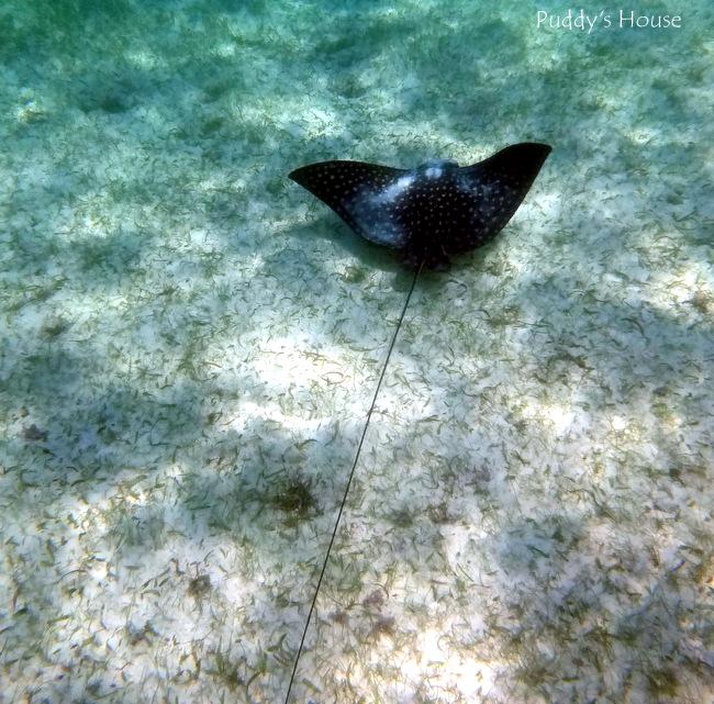 Mexico - akumal snorkeling sting ray
